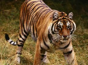 junmgle-safari